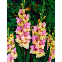 Gladiolas Mon Amour - 5 gab. Iepakojums - Gladiolus Mon Amour