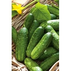 Cucumber 'Tymon' - medium early, bitterless variety