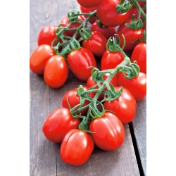Dwarf field tomato 'Mieszko' - medium late, productive variety recommended for field cultures