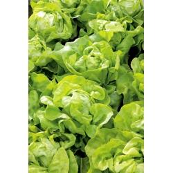 Butterhead lettuce 'Nawojka' - for cultivation in the spring