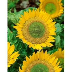 Hoa hướng dương lùn - Hobbit xanh - để trồng trong chậu -  - hạt