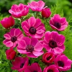Anemone Sylphide - 8 kvetinové cibule