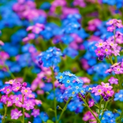 Alpine forget-me-not - pink and blue, a set of seeds of two varieties