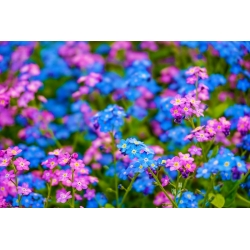 Alpine-un-me-not - roosa ja sinine, kahe sordi seemnete kogum -  - seemned