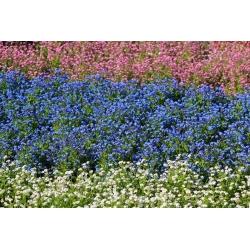Valged, sinised ja roosad unenäod - 3 õistaimede sortide seemned -