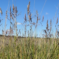 """Pelbagai makanan ternakan Kentucky bluegrass """"Balin"""" - 5 kg; rumput padang rumput halus, rumput padang rumput biasa -"""