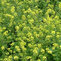 "Mustard putih ""Maryna"" - 0,5 kg -"