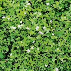 "Reversed clover ""DS Magic"" - 0.5 kg; Persian clover, shaftal"
