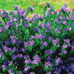 Фіолетова гадюка - медоносна рослина - 100 г; Прокляття Патерсона -