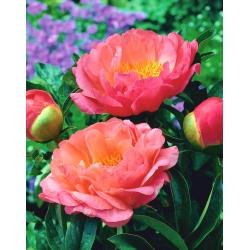 """گل صد تومانی """"غروب مرجانی"""" - نهال؛ پائونی -"""