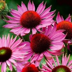 Vzhodno vijolična coneflower - Ruby Giant - velik cvet, 1 kos; jež coneflower, vijolična coneflower -