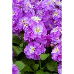 "Hoary stock ""Varsovia Hala"" - crimson-purple; gilly flower"