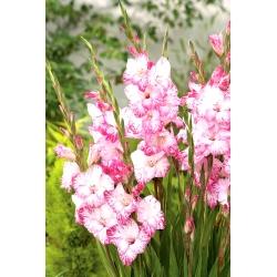 """Gladiolus """"Mana mīlestība"""" - 5 gab -"""