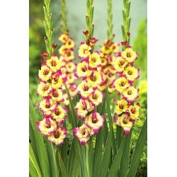 """Gladiolus """"Zita"""" - 5 gab -"""