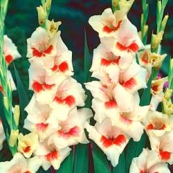 Gladiolas Mary Housley - 10 gab. Iepakojums - Gladiolus Mary Housley