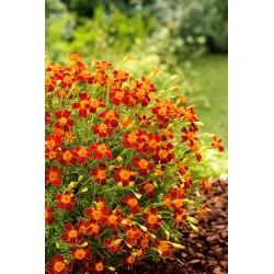 Ahtalehine peiulill - Talizman - Tagetes tenuifolia - seemned