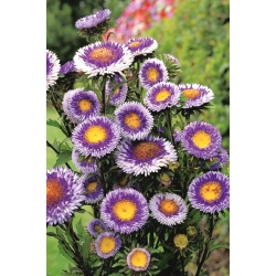 """Chinese aster """"Blue Moon"""" - 250 seeds"""