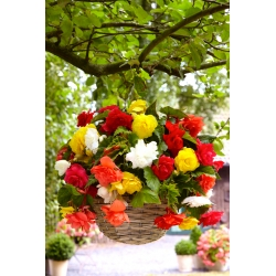 Begonia Pendula Cascade Mix - 2 bulbs