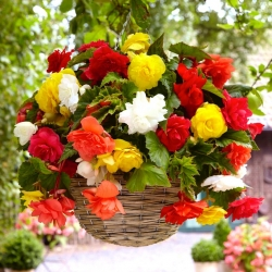 Begonia Pendula Cascade Mix - 2 لمبات - Begonia ×tuberhybrida pendula