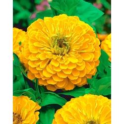 """Dahlia-flowered zinnia """"Golden Dawn"""" - yellow - 108 seeds"""