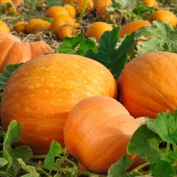 Pumpkin Bambino seeds - Cucurbita maxima - 16 seeds