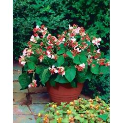Бобовые семена 'Hestia' - Phaseolus coccineus - 40 семян - Phaseolus coccineus.