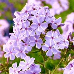 Phlox All In One - củ / củ / rễ