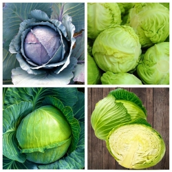 Kubis - biji dari 4 varietas tanaman sayuran -