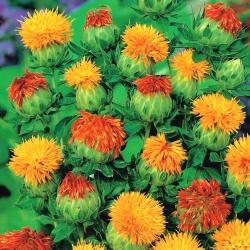 Safflower seeds - Carthamus tinctoria - 44 seeds