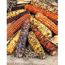 Dekoratiivne maisi-, dekoratiivse maisi segud - Zea mays - seemned
