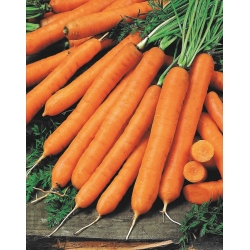 """Carrot """"Cidera"""" - Nantes-type carrot intended for preserves - 2550 seeds"""