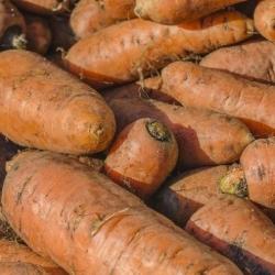 "Forage carrot ""Krystyna"" - 500 g"