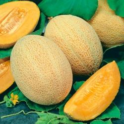 "Cantaloupe ""Junior"" - tebal, oren, daging aromatik - 40 biji - Cucumis melo L. - benih"