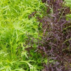 "Mizuna ""Baby Leaf"" variety mix, kyona, Japanese mustard greens - 250 seeds"