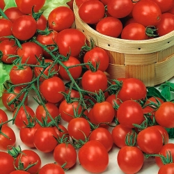 Tall Cherry Tomato Red Temptation seeds - Lycopersicon lycopersicum - 480 seeds