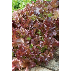 Lettuce Lollo Rossa seeds -  Lactuca sativa - 950 seeds