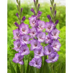 "Gladiolus ""Flevo Nautica"" - 5 gab -"
