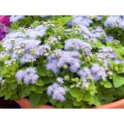 Hoa flossa trắng xanh; bluemink, blueweed, âm hộ chân, cọ sơn Mexico - 1440 hạt - Ageratum houstonianum