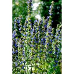 Hyssop Tricolor Trio seeds - Hyssopus officinalis - 100 دانه
