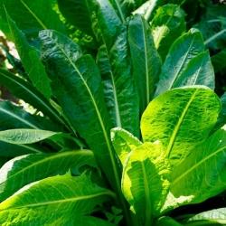 "Chicory akar biasa ""Kujawska"" - 10 g -"