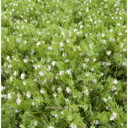 Serradella - selepas tanaman - 1000 g; kaki burung -