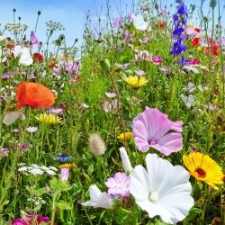 Üheaastaste ja mitmeaastaste looduslike taimede segu - lilleniit - 500 g -