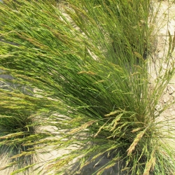 Stoloniferous (spreading) red fescue Rossinante - 5 kg