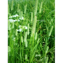 Timothy grass Karta - 5 kg