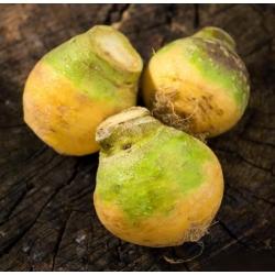"Kŕmna rutabaga ""Saba"" - 10 g; Švédska repa, neep, snagger, swede -"