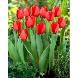 Tulip 'Red Impression' - 5 pcs