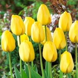 Tulip Golden Parade - 5 pcs