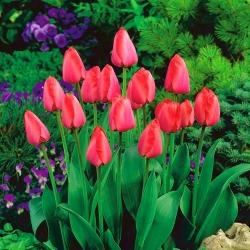 Tulip Niigata - 5 pcs