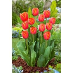 Tulip Ad Rem - 5 pcs
