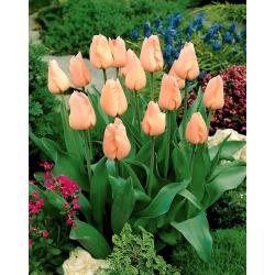 Tulip 'Apricot' - 5 pcs